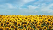 A field of sunflowers beneath a the sky